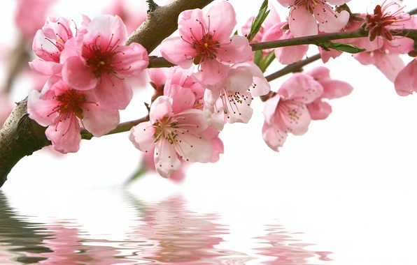 Картинка вода, цветы, отражение, ветка, весна, сакура, розовые