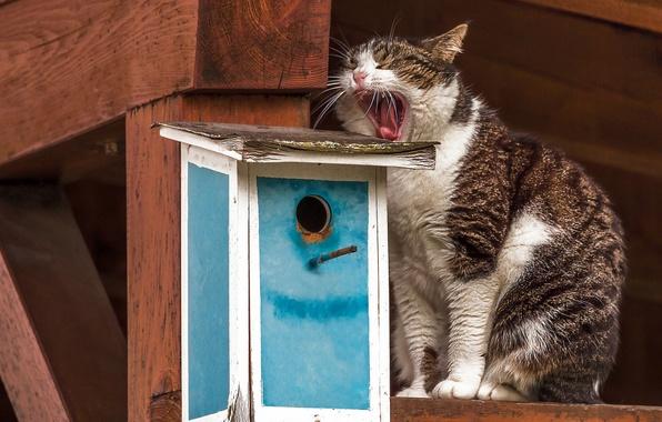 Картинка кошка, кот, скворечник, ожидание, зевает, зевок