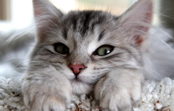 Картинка кошка, глаза, кот, взгляд, серый, лапы, уши, смотрит