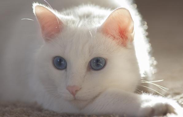 Картинка кошка, глаза, кот, усы, белая