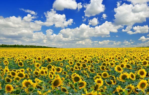 Картинка поле, небо, облака, деревья, подсолнухи, цветы