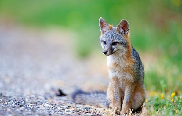 Картинка природа, хищник, лиса, Серая лисица