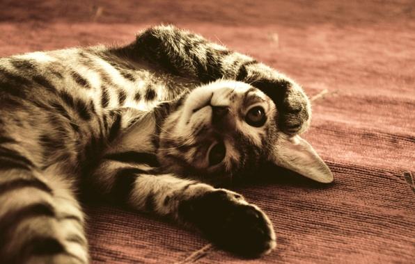 Картинка Кот, забавный, ПОЛУ