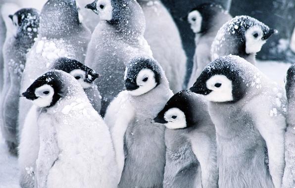 Фото обои пингвины, Baby, Penguins, снег