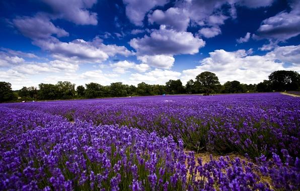 Картинка поле, небо, облака, деревья, цветы, лаванда