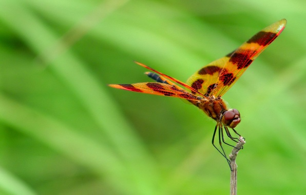 Картинка природа, крылья, стрекоза, насекомое