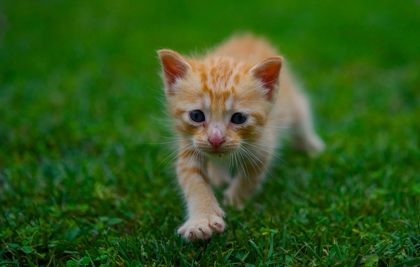 Картинка зелень, лето, трава, котенок, малыш, рыжий