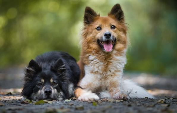 Картинка язык, собаки, листья, фон, щенки, пара, порода, лежат, две собаки
