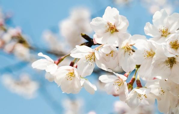 Фото обои вишня, ветка, весна
