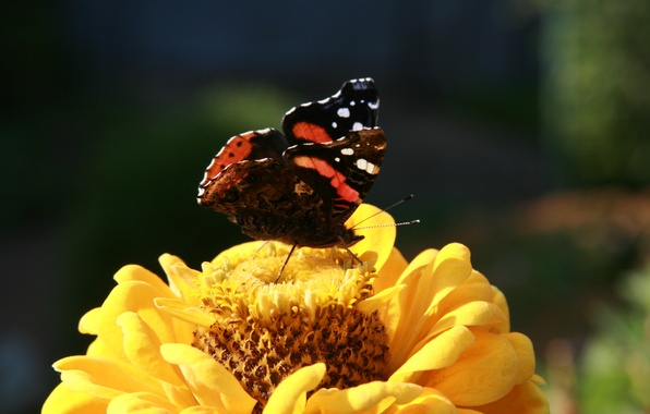Картинка цветок, лето, макро, цветы, природа, фон, обои, растение, сад, насекомое, бабочка шоколадница