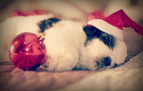 Картинка сон, собака, шарик, малыш, щенок, колпак, спящий, Ши-тцу