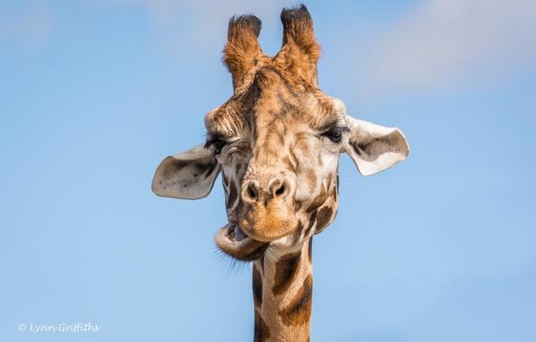 Фото обои морда, гримаса, жираф