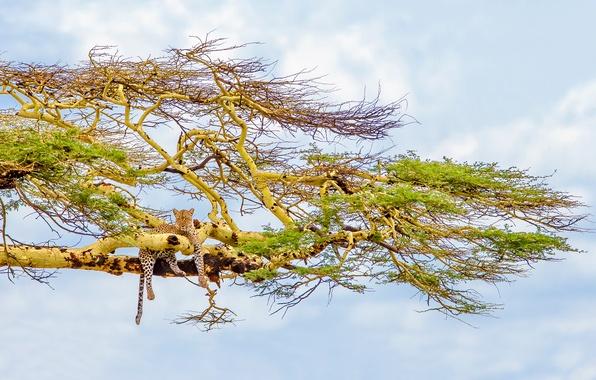 Картинка небо, дерево, леопард, большая кошка