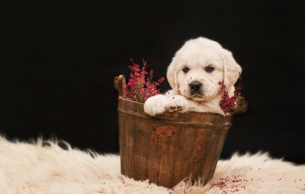 Картинка белый, цветы, фон, темный, собака, щенок, мех, сидит, золотистый, ретривер, таз