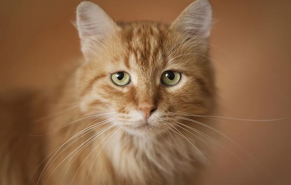 Картинка кот, портрет, рыжий