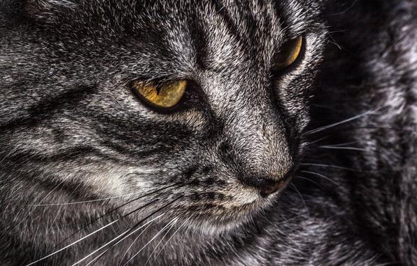 Фото обои шерсть, кошак, Усы, котяра
