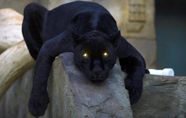 Картинка кошка, глаза, пантера, чёрная, panther