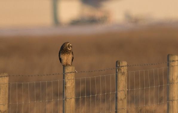 Картинка птица, забор, хищник, ограда, профиль, Short eared owl, Asio flammeus, болотная сова