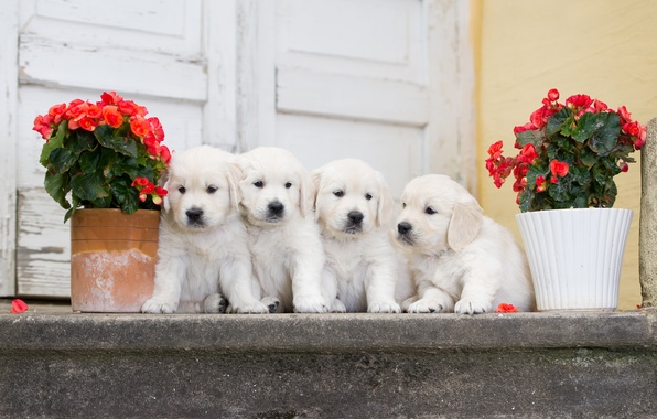 Картинка собаки, цветы, щенки, квартет, бегония