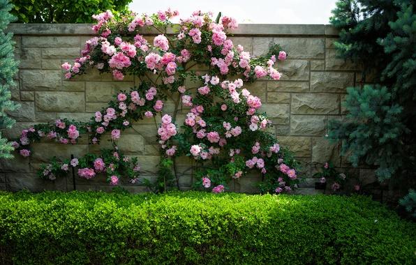 Картинка цветы, стена, розы, кусты