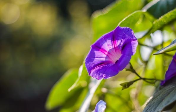 Картинка цветок, фиолетовый, макро, сиреневый, лепестки, Ипомея