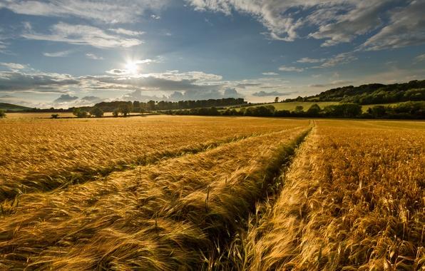 Картинка поле, лето, небо, природа, колоски, золотое