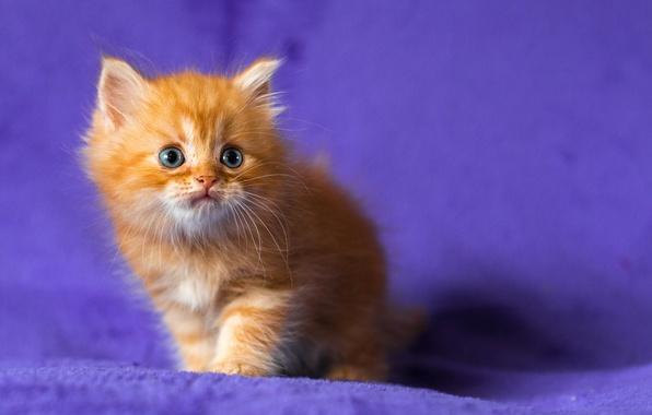 Картинка котенок, рыжий, голубоглазый, сиреневый фон