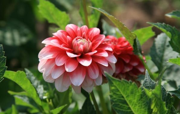 Картинка цветок, лето, солнце, радость, цветы, яркий, настроение, утро, прогулка, пион