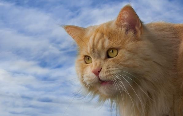 Картинка кошка, небо, кот, взгляд, мордочка, рыжий кот