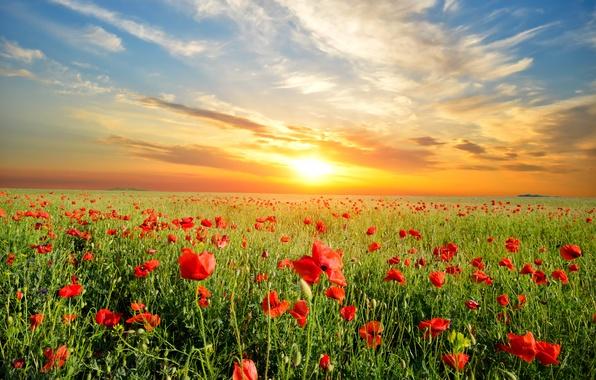 Картинка пейзаж, закат, цветы, природа, маки, луг