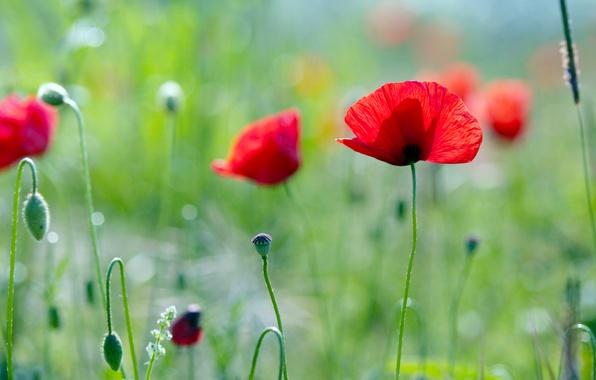 Картинка зелень, поле, лето, трава, свет, цветы, мак, растения
