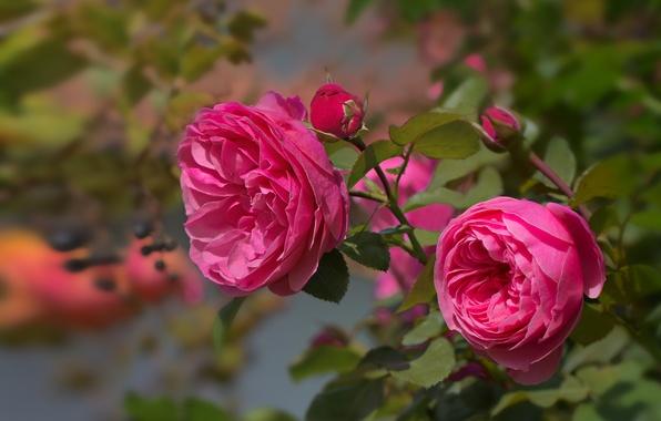 Картинка листья, розовая, роза, ветка, лепестки, бутоны, цветение
