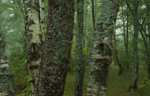 Картинка лес, деревья, мох, березы