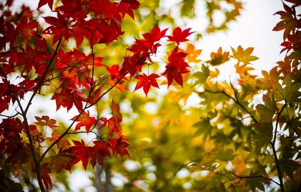 Картинка осень, листья, деревья, ветки, дерево, размытость, зеленые, кленовые, бордовые