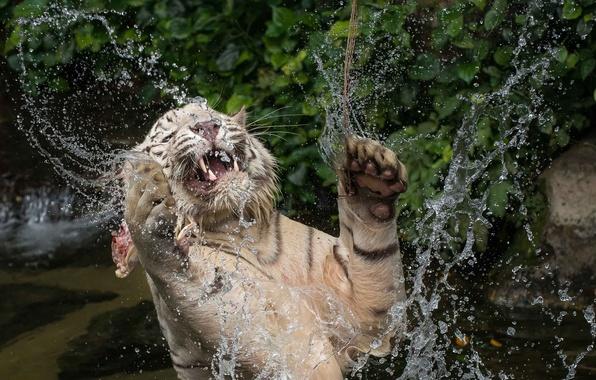 Картинка морда, вода, брызги, прыжок, игра, хищник, лапы, купание, пасть, клыки, белый тигр, дикая кошка