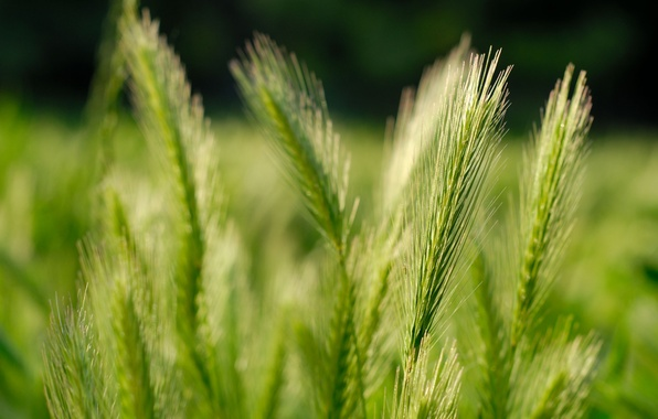 Картинка пшеница, поле, природа, зерна, колосья, grass, fields, macro, nature pictures