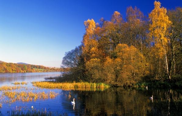 Картинка осень, лес, небо, деревья, озеро, птица, лебедь