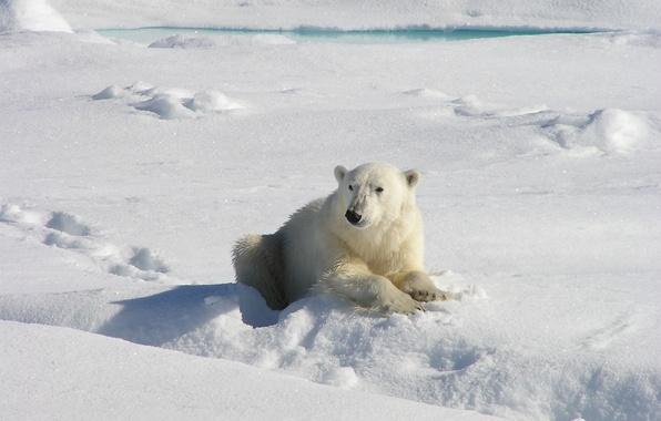 Фото обои медведь, лежит, когти, полынья, снег, белый, нос