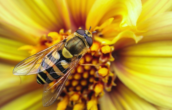 Картинка цветок, макро, полоски, желтый, полосы, пчела, оса, крылья, насекомое