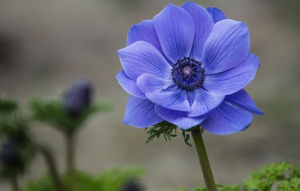 Картинка цветок, макро, синий, фокус, лепестки, Анемона, ветреница