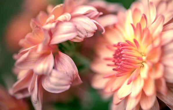 Картинка макро, цветы, хризантемы