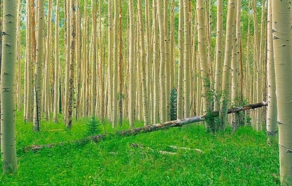 Картинка лес, трава, деревья, осина
