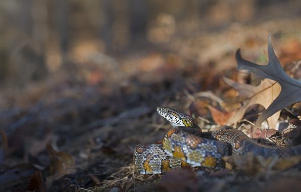 Картинка листья, змея, боке, Маисовый полоз