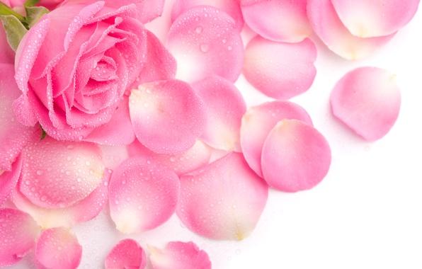 Картинка роса, розовая, роза, лепестки