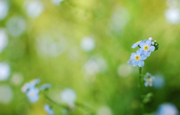 Картинка зелень, трава, вода, капли, макро, цветы, роса, нежность, цвет, растения, фокус, весна, размытость, голубые, незабудки