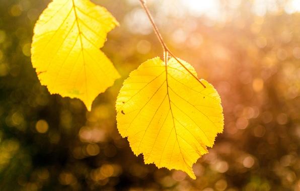 Фото обои осень, листья, макро, свет, природа, дерево, ветка, желтые, боке