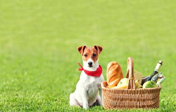 Картинка поле, трава, вино, корзина, яблоки, бокал, бутылка, сыр, хлеб, бананы, фрукты, пикник, батон, Джек-рассел-терьер