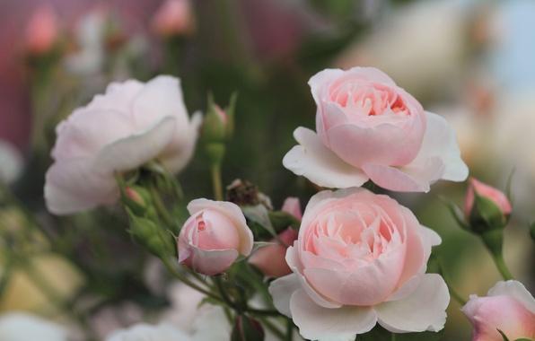 Картинка зелень, листья, цветы, природа, куст, розы, лепестки, размытость, розовые, бутоны