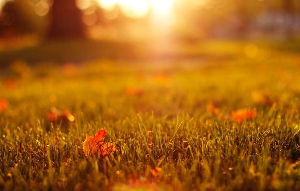 Картинка осень, трава, листья, макро, свет, природа, газон, желтые, оранжевые, кленовые, боке