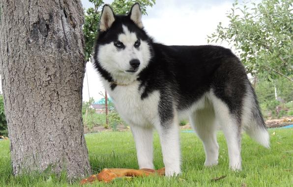 Картинки собаки хаски красивые